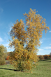 Gray Birch (Betula populifolia) at Alsip Home and Nursery