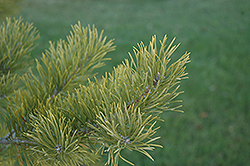 Scotch Pine (Pinus sylvestris) at Alsip Home and Nursery