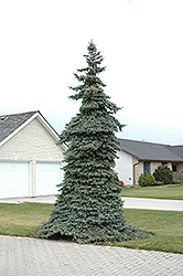 Weeping Blue Spruce (Picea pungens 'Pendula') at Alsip Home and Nursery