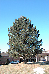Red Pine (Pinus resinosa) at Alsip Home and Nursery