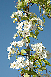 Summercrisp Pear (Pyrus 'Summercrisp') at Alsip Home and Nursery