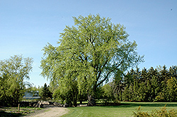 Plains Cottonwood (Populus deltoides) at Alsip Home and Nursery