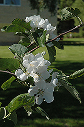 Macintosh Apple (Malus 'Macintosh') at Alsip Home and Nursery