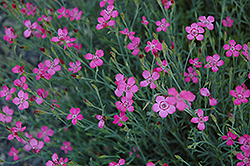 Maiden Pinks (Dianthus deltoides) at Alsip Home and Nursery