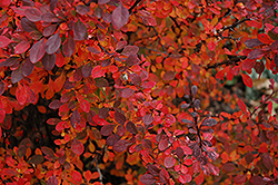 Rose Glow Japanese Barberry (Berberis thunbergii 'Rose Glow') at Alsip Home and Nursery