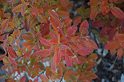 Rainbow Pillar Serviceberry (Amelanchier canadensis 'Glennform') at Alsip Home and Nursery