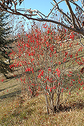 Korean Barberry (Berberis koreana) at Alsip Home and Nursery