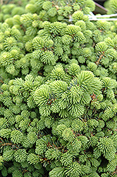Little Gem Spruce (Picea abies 'Little Gem') at Alsip Home and Nursery