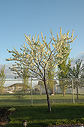 Grenville Plum (Prunus 'Grenville') at Alsip Home and Nursery