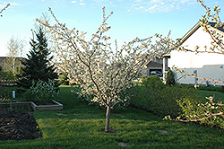 Pembina Plum (Prunus 'Pembina') at Alsip Home and Nursery
