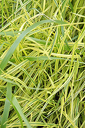 Variegated Palm Sedge (Carex muskingumensis 'Oehme') at Alsip Home and Nursery
