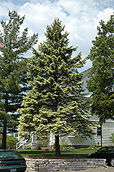 Spring Ghost Blue Spruce (Picea pungens 'Spring Ghost') at Alsip Home and Nursery