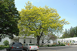 Sunburst Honeylocust (Gleditsia triacanthos 'Suncole') at Alsip Home and Nursery
