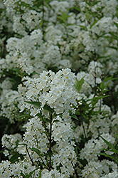 Smooth Deutzia (Deutzia glabrata) at Alsip Home and Nursery