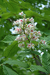 Horse Chestnut (Aesculus hippocastanum) at Alsip Home and Nursery