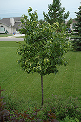 Golden Eclipse Japanese Tree Lilac (Syringa reticulata 'Golden Eclipse') at Alsip Home and Nursery
