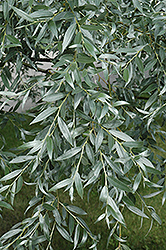 Silver Willow (Salix alba 'Sericea') at Alsip Home and Nursery