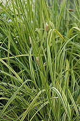 Variegated Foxtail Grass (Alopecurus pratensis 'Aureovariegatus') at Alsip Home and Nursery