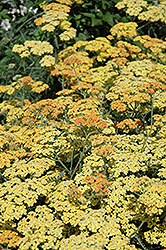Terra Cotta Yarrow (Achillea 'Terra Cotta') at Alsip Home and Nursery