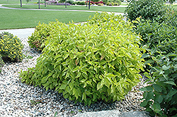 Prairie Fire Dogwood (Cornus alba 'Prairie Fire') at Alsip Home and Nursery