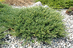 Andorra Juniper (Juniperus horizontalis 'Plumosa Compacta') at Alsip Home and Nursery