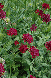 Crimson Scabious (Knautia macedonica) at Alsip Home and Nursery