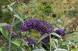 Adonis Blue™ Butterfly Bush (Buddleia davidii 'Adokeep') at Alsip Home and Nursery