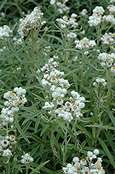 Pearly Everlasting (Anaphalis margaritacea) at Alsip Home and Nursery