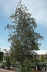 Purple Rain Birch (Betula pendula 'Purple Rain') at Alsip Home and Nursery