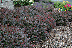 Crimson Pygmy Japanese Barberry (Berberis thunbergii 'Crimson Pygmy') at Alsip Home and Nursery