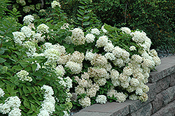 Pee Gee Hydrangea (Hydrangea paniculata 'Grandiflora') at Alsip Home and Nursery