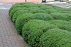 Chicagoland Green Boxwood (Buxus 'Glencoe') at Alsip Home and Nursery