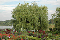 Golden Weeping Willow (Salix alba 'Tristis') at Alsip Home and Nursery