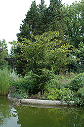 Japanese Hornbeam (Carpinus japonica) at Alsip Home and Nursery