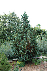 Van Pelt's Blue Falsecypress (Chamaecyparis lawsoniana 'Van Pelt's Blue') at Alsip Home and Nursery