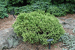 White Pygmy Falsecypress (Chamaecyparis pisifera 'White Pygmy') at Alsip Home and Nursery