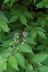 Japanese Beautyberry (Callicarpa japonica) at Alsip Home and Nursery