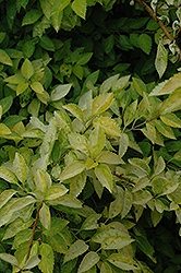 Gold Leaf Forsythia (Forsythia x intermedia 'Gold Leaf') at Alsip Home and Nursery