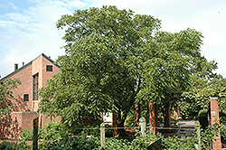 Weschcke Black Walnut (Juglans nigra 'Weschcke') at Alsip Home and Nursery
