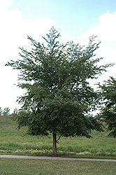 Szechaun Elm (Ulmus szechuanica) at Alsip Home and Nursery