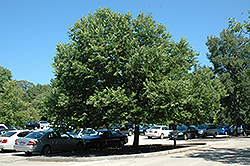 Chicagoland Hackberry (Celtis occidentalis 'Chicagoland') at Alsip Home and Nursery