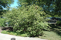 Red Alder (Alnus rugosa) at Alsip Home and Nursery