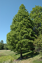 Pond Cypress (Taxodium distichum 'var. nutans') at Alsip Home and Nursery