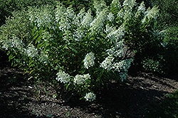 White Caps™ Hydrangea (Hydrangea paniculata 'Dolly') at Alsip Home and Nursery
