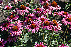 The King Coneflower (Echinacea purpurea 'The King') at Alsip Home and Nursery