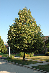 Glenleven Linden (Tilia x flavescens 'Glenleven') at Alsip Home and Nursery