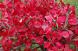 Compact Winged Burning Bush (Euonymus alatus 'Compactus') at Alsip Home and Nursery