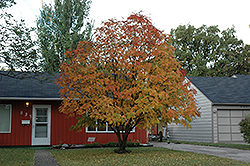 American Mountain Ash (Sorbus americana) at Alsip Home and Nursery