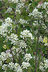 Helvetica Serviceberry (Amelanchier ovalis 'Helvetica') at Alsip Home and Nursery