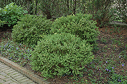 Wintergreen Boxwood (Buxus microphylla 'Wintergreen') at Alsip Home and Nursery